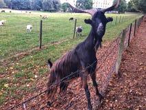 好奇山羊请求食物 法国凡尔赛 库存图片