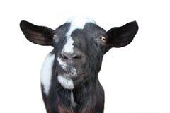 好奇山羊 库存图片