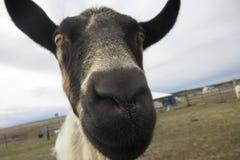 好奇山羊 免版税库存图片