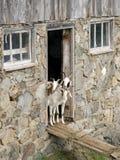 好奇山羊 库存照片