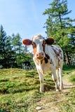 好奇幼小小牛 库存照片