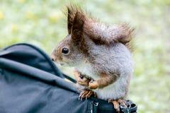 好奇幼小灰色灰鼠坐在defocused绿草的袋子 免版税图库摄影