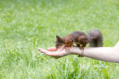 好奇幼小灰鼠坐在绿色gra的一只女性手 免版税图库摄影