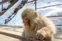 好奇幼小猴子 免版税库存照片