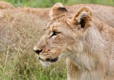 好奇幼狮 免版税图库摄影