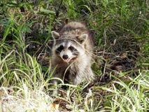 好奇微笑的浣熊特写镜头  库存图片