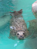 好奇斑海豹 库存照片