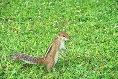 好奇棕榈灰鼠 库存照片