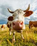 好奇母牛嗅 免版税库存照片