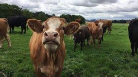 好奇母牛在牧场地 股票视频