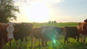 好奇母牛在草甸 股票视频
