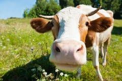 好奇母牛在草甸 库存图片