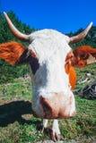 好奇母牛的特写镜头鼻子在高山牧场地的 免版税库存照片