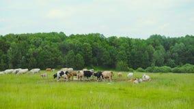 好奇母牛看看照相机 影视素材