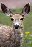 好奇母鹿 库存照片