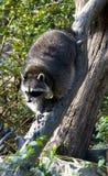 好奇浣熊 免版税图库摄影