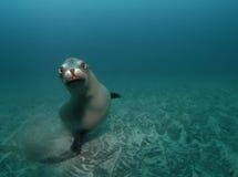 好奇海狮 免版税库存照片