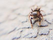 好奇漫步的跳跃的蜘蛛 库存图片