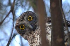 好奇澳大利亚强有力的猫头鹰 免版税库存图片