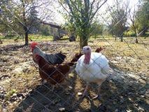 好奇火鸡和鸡在铁丝网后 免版税库存图片