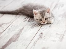 好奇灰色小猫 免版税库存照片