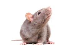好奇灰色鼠画象  图库摄影
