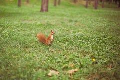 好奇灰鼠在公园 免版税库存图片