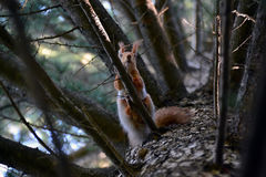 好奇灰鼠高在树枝 图库摄影