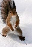 好奇灰鼠 免版税库存图片