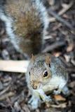 好奇灰鼠 免版税图库摄影