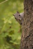 好奇灰鼠 免版税库存照片