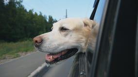 好奇狗品种拉布拉多看移动的汽车窗口  家畜黏附他的头在汽车外面享受乘驾 股票视频