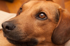 好奇狗看 免版税库存图片