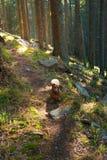 好奇狗远足者沿足迹跑通过杉木森林 免版税图库摄影