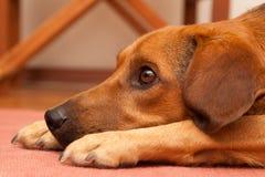 好奇狗 免版税图库摄影
