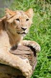 好奇狮子年轻人 图库摄影