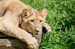 好奇狮子年轻人 库存图片