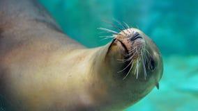 好奇狮子海运 库存图片