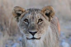 好奇狮子的看起来, etosha nationalpark,纳米比亚 免版税库存照片