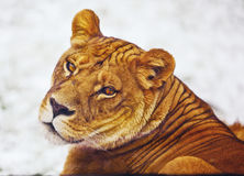好奇狮子 库存照片