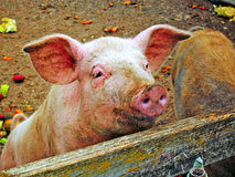 好奇猪 免版税库存照片
