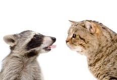 好奇猫和滑稽的浣熊 图库摄影
