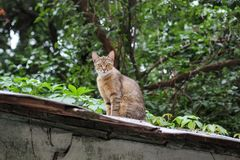 好奇猫坐屋顶 在屋顶的一只骄傲的猫 街道瘪三猫 图库摄影
