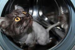 好奇猫,美丽的眼睛 免版税库存照片