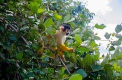 好奇猴子 免版税库存照片