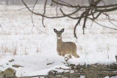好奇白尾鹿 库存照片