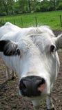 好奇白色母牛 免版税库存图片