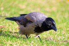 好奇的乌鸦 库存照片
