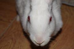好奇的兔子 免版税库存图片