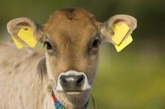 好奇的小牛 库存照片
